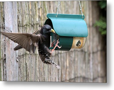 Starling On Bird Feeder Metal Print by Gordon Auld