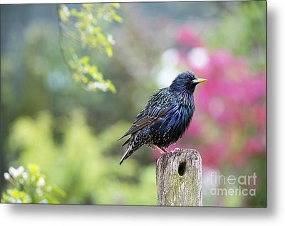 Starling  Metal Print by Tim Gainey