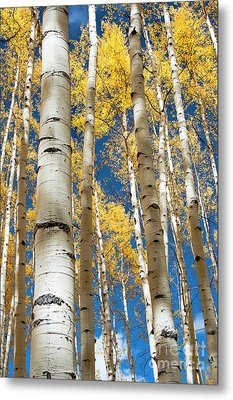 Metal Print featuring the photograph Stately Aspens by The Forests Edge Photography - Diane Sandoval
