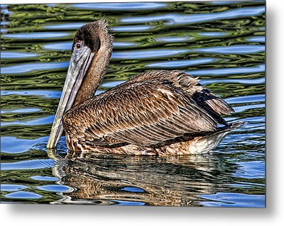 Staying Afloat 2 - Brown Pelican Swimming Metal Print by HH Photography of Florida