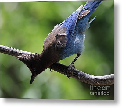 Stellers Jay . 7d6360 Metal Print by Wingsdomain Art and Photography