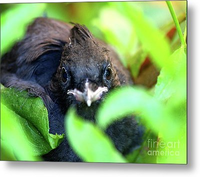 Stellers Jay Chick . 40d501 Metal Print by Wingsdomain Art and Photography