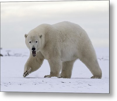 Stepping Out In The Arctic Metal Print
