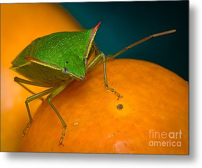 Stink Bug On Kumquats Metal Print by Warren Sarle