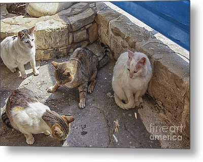 Stray Cats  Metal Print by Patricia Hofmeester
