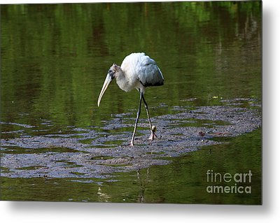 Striding Wood Stork Metal Print by Christiane Schulze Art And Photography