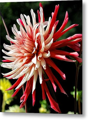 Striking Dahlia Red And White Metal Print