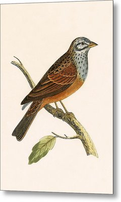 Striolated Bunting Metal Print by English School