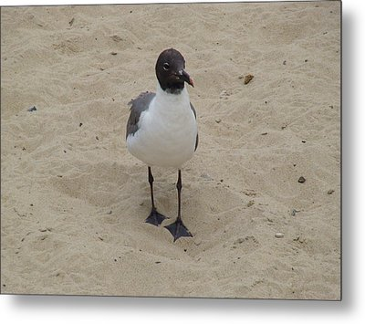 Metal Print featuring the photograph Struttin' Seagull  by Charles Kraus