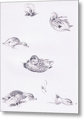 Studies Of Mallard Ducks Metal Print