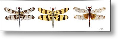 Study Of A Banded Pennant A Halloween Pennant And A Calico Pennant  Metal Print by Thom Glace