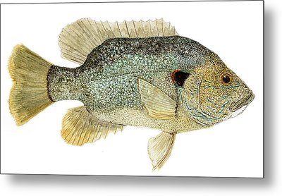Study Of A Green Sunfish Metal Print by Thom Glace