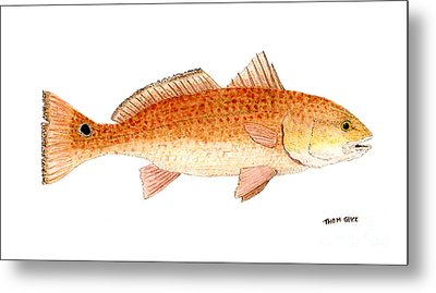 Study Of A Redfish  Metal Print by Thom Glace