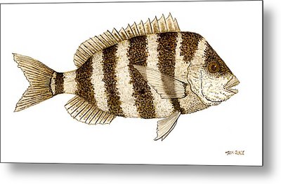 'study Of A Sheepshead' Metal Print