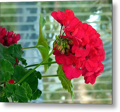 Stunning Red Geranium Metal Print by Will Borden