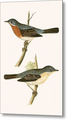 Sub Alpine Warbler Metal Print by English School