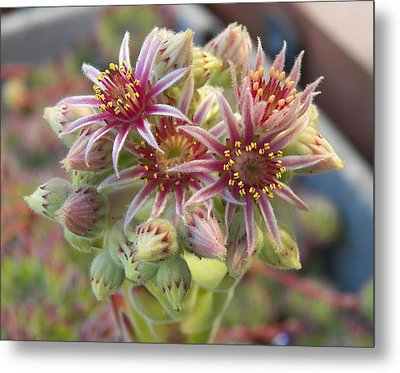 Succulent Cactus Metal Print by Laurie Kidd