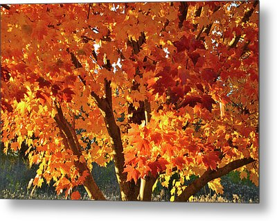 Metal Print featuring the photograph Sugar Maple Sunset by Ray Mathis