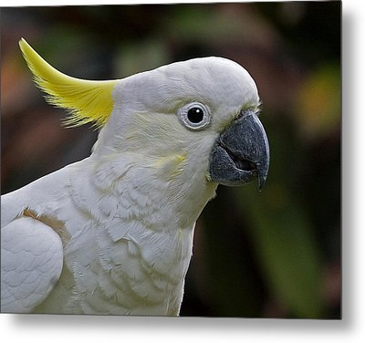 Sulphur-crested Cockatoo Metal Print by Larry Linton