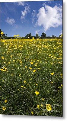Summer Buttercups Metal Print by Meirion Matthias
