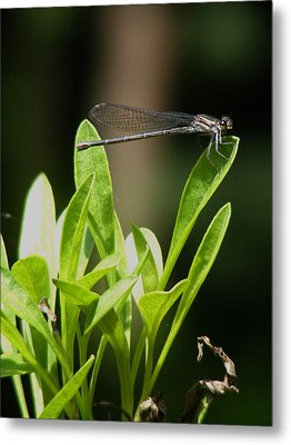 Metal Print featuring the photograph Summer Damselfly by Margie Avellino