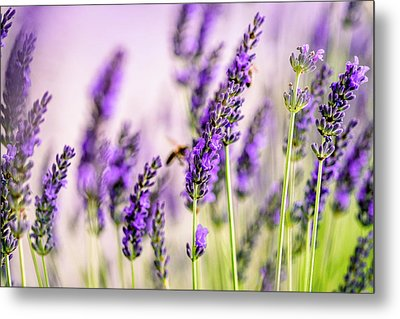 Summer Lavender  Metal Print by Nailia Schwarz
