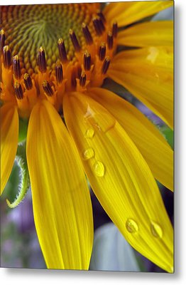 Summer Rain On Sunflower Metal Print by Barbara McDevitt