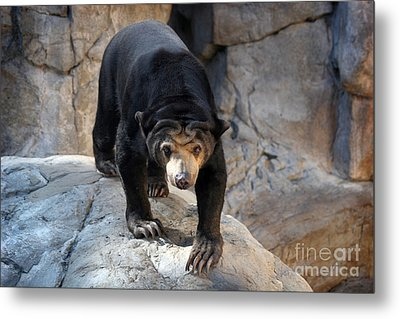 Sun Bear Metal Print by Jeannie Burleson