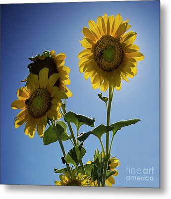 Metal Print featuring the photograph Sun Flowers by Brian Jones
