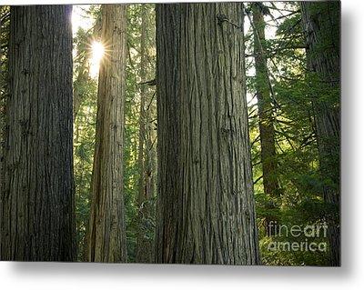 Sun In The Cedars Metal Print by Idaho Scenic Images Linda Lantzy