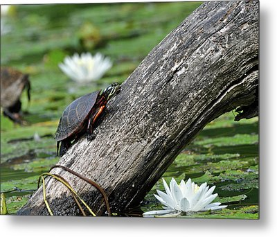 Metal Print featuring the photograph Turtle Sunbathing by Glenn Gordon