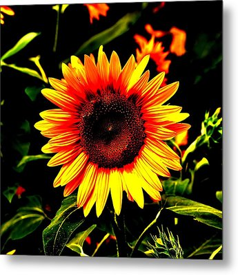 Sunburst Of The Sunflower Metal Print by Marc Mesa