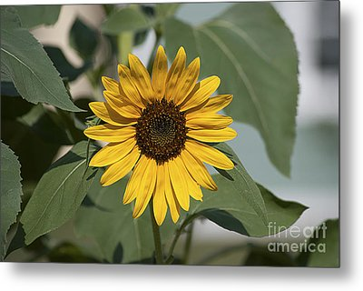Metal Print featuring the photograph Sunflower 20120718_06a by Tina Hopkins