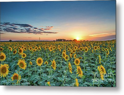 Texas Sunflowers At Sunset Metal Print by Tod and Cynthia Grubbs