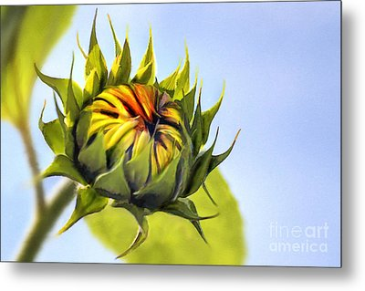 Sunflower Bud Metal Print by John Edwards