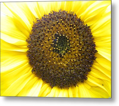 Sunflower Close Up Metal Print by Sonya Chalmers