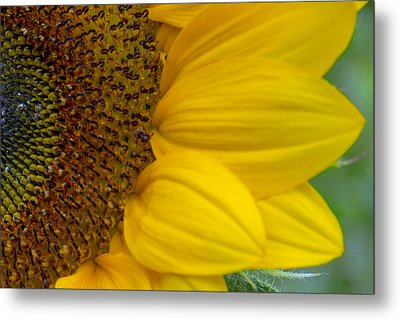 Sunflower Closeup Metal Print