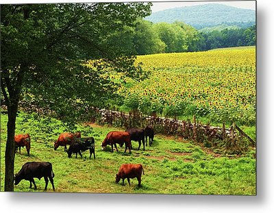 Sunflower Farm Metal Print by John Scates