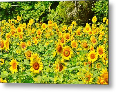 Sunflower Farm Metal Print by Kim Bemis