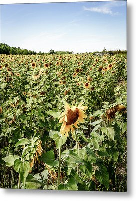 Metal Print featuring the photograph Sunflower Field by Alexey Stiop