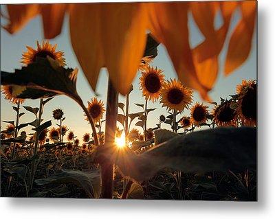 Sunflower Field Metal Print by Floriana Barbu