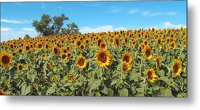 Sunflower Field One Metal Print by Barbara McDevitt