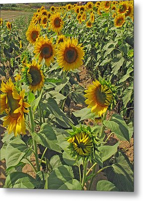 Sunflower Field Two Metal Print by Barbara McDevitt