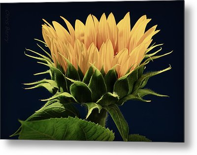 Metal Print featuring the photograph Sunflower Foliage And Petals by Chris Berry