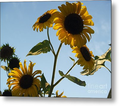 Sunflower Gang From Below Metal Print by Anna Lisa Yoder