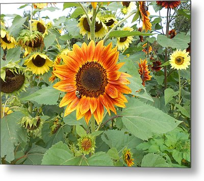 Sunflower Garden Metal Print
