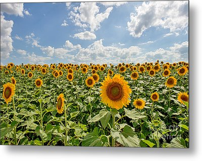 Sunflower Heaven Metal Print by Tod and Cynthia Grubbs