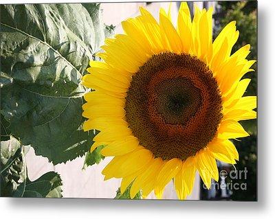 Sunflower II Metal Print by Chuck Kuhn