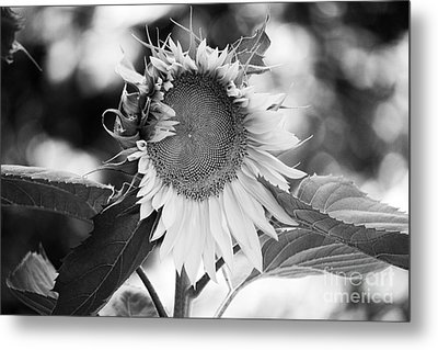 Sunflower In Black And White Metal Print