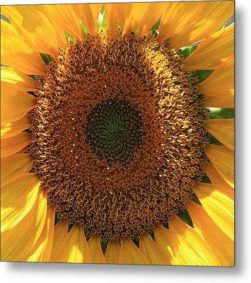 Metal Print featuring the photograph Sunflower  by Marna Edwards Flavell